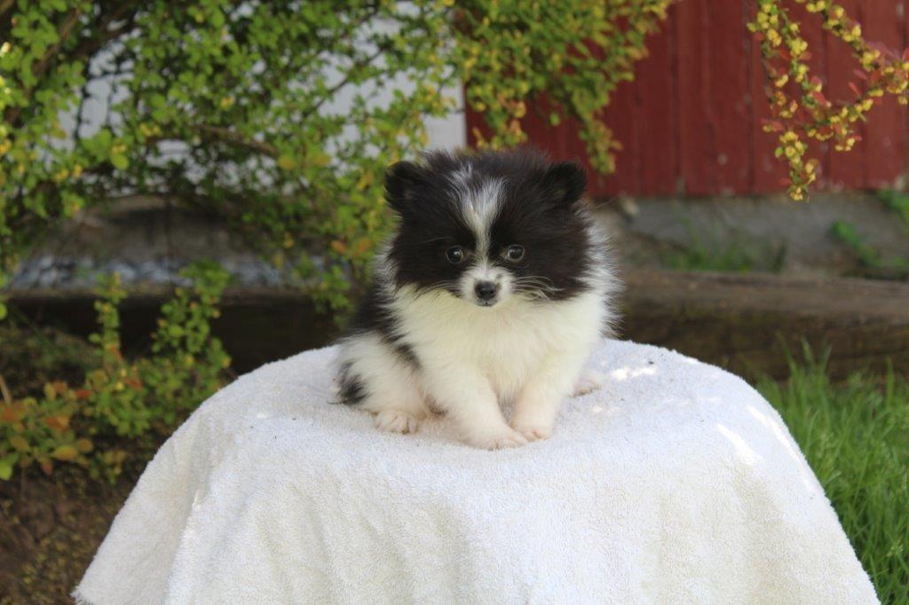 Pomsky Puppies|Long Island|NY|NYC|NJ|CT