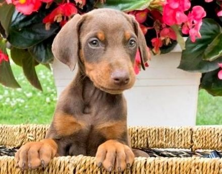 Available Puppies | Long Island | NY, NYC, CT, NJ