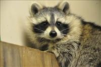 raccoons20