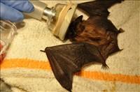 bat-small