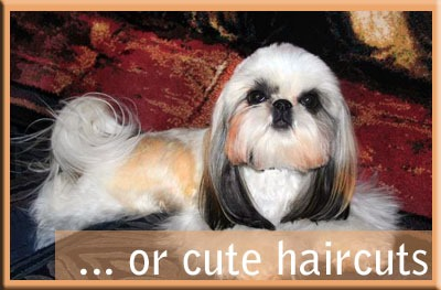 WELCOME! Official American Shih Tzu Club Website | American