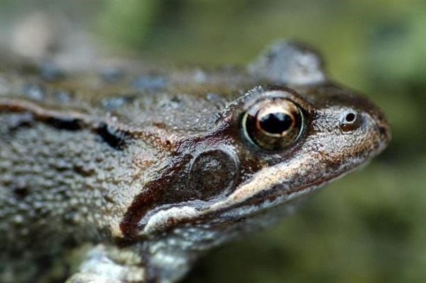 Common frog   The Amphibian and Reptile Conservation Trust