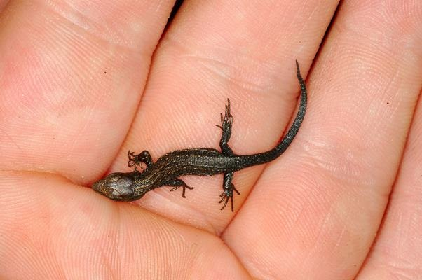 The Amphibian And Reptile Conservation Trust Common Lizard