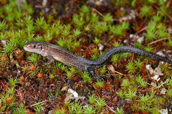 Common Lizard The Amphibian And Reptile Conservation Trust